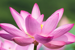 lotus_flower
